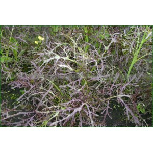 JEUNES POUSSES Purple Frills (Feuille De Moutarde)