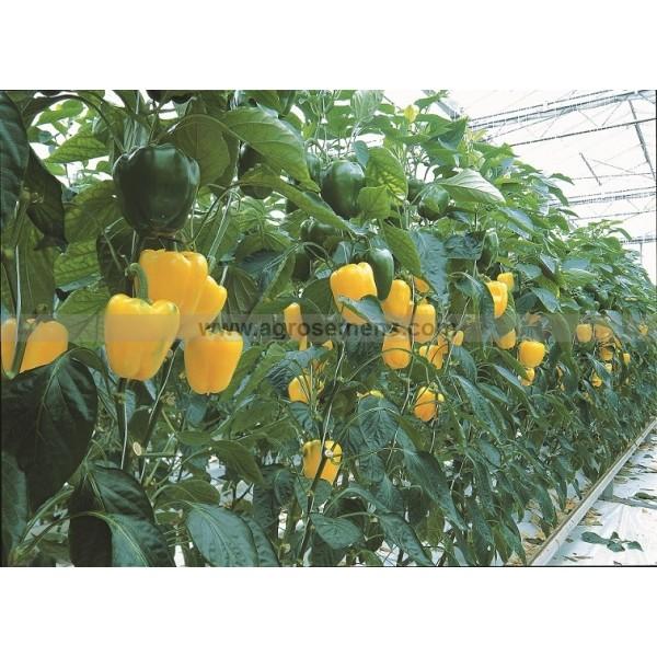 Agrosemens jardin graines graine semences semence bio poivron fiesta f1 - Culture haricot vert plein champ ...