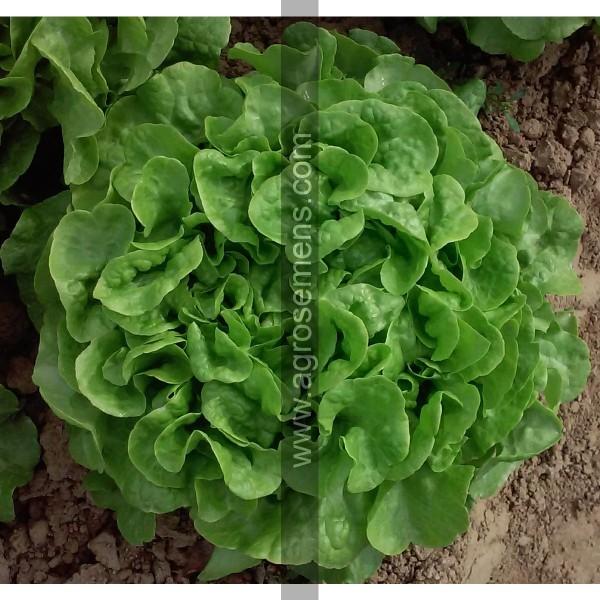 Agrosemens jardin graines graine semences semence bio - Laitue a couper feuille de chene blonde ...