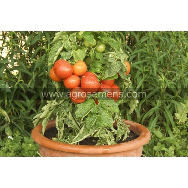 Agrosemens jardin graines graine semences semence bio tomate rotk ppchen - Hauteur plant de tomate ...