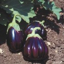 AUBERGINE Black Beauty