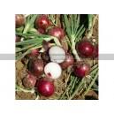 OIGNON ROUGE Tropea tonda (red tropea)