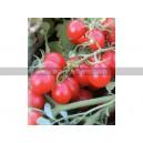 TOMATE Délice des Jardiniers (Qualité Premium)