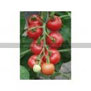 TOMATE Matina (Qualité Premium)