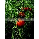 TOMATE Coeur de boeuf rouge (Qualité Premium)