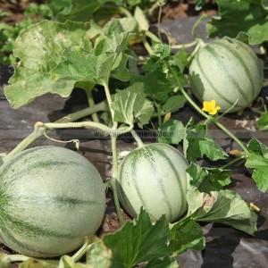 Agrosemens jardin graines graine semences semence bio melon charentais pr coce du roc - Culture du melon charentais ...