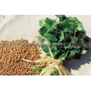 Graine bio CORIANDRE à Petite Graines