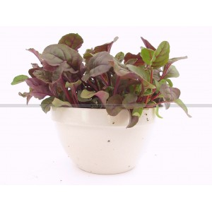 JEUNE POUSSE Red Ruby Chard