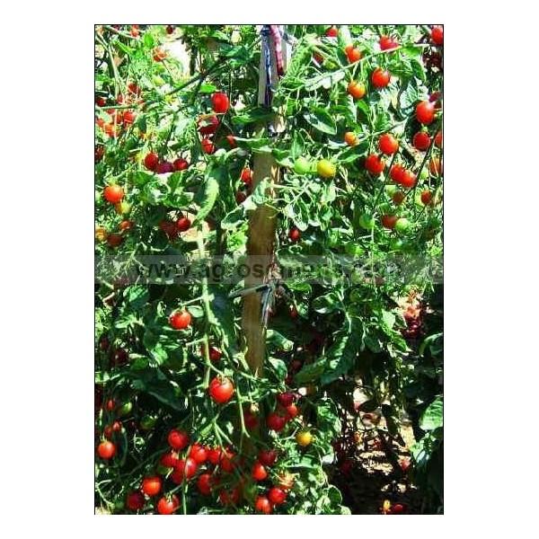 tomate cerise sweet baby agrosemens la semence au coeur du monde. Black Bedroom Furniture Sets. Home Design Ideas