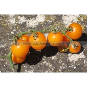 TOMATE Cerise Gold Nugget