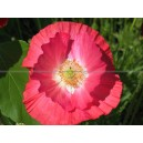 COQUELICOT Papaver somniferum rose