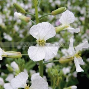 RADIS Oleifere (variété selon arrivage)