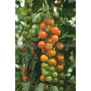 TOMATE Cerise Orange Toronjina F1 - variété non GSPP donc n'offre pas de garantie pour la présence de clavibacter