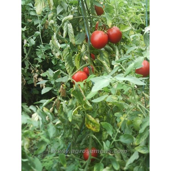 tomate cerise burbank au potager