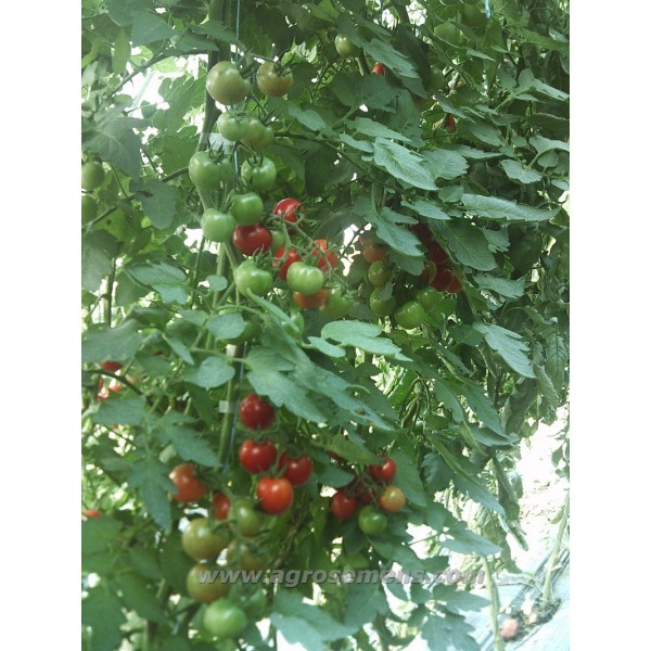 planter tomates cerises beautiful tomates cerises fraises et radis with planter tomates cerises. Black Bedroom Furniture Sets. Home Design Ideas