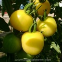 TOMATE Cer. Mirabelle Blanche