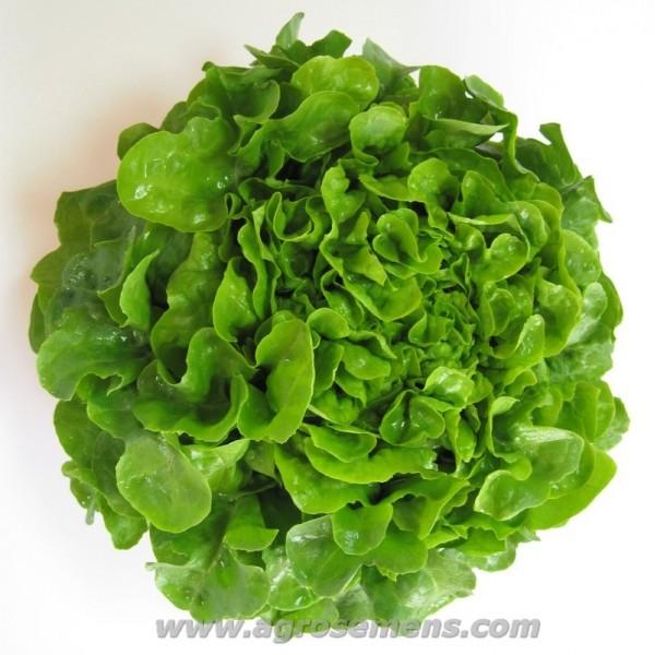 Agrosemens graines de semences bio laitue feuille de - Laitue a couper feuille de chene blonde ...