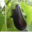 AUBERGINE  Black Gem