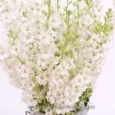 DELPHINIUM Blanc (Pied d'Alouette)