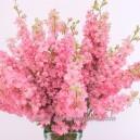 DELPHINIUM Pink Perfection (Pied d'Alouette)