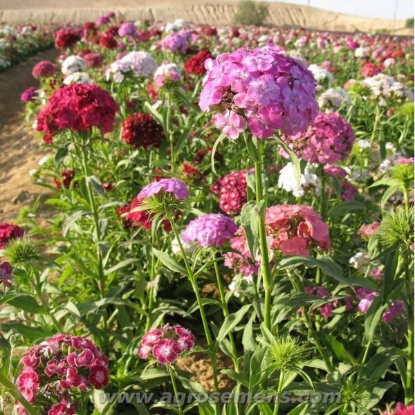 Agrosemens graines de semences bio oeillet du po te - Oeillet du poete ...