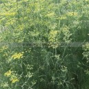 Graine bio FENOUIL Commun