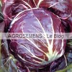 Chicorée Palla Rossa, agrosemens
