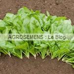 Epinard Butterflay, agrosemens