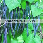 Haricot à rames Blauhilde, Agrosemens