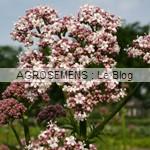 Valeriane, agrosemens, semence bio