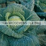 chou-de-milan-bio, semences agrosemens
