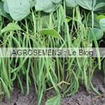 haricot semences bio-agrosemens