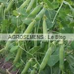 pois bio semences maraicher -agrosemens