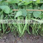 haricot bio semences bio AGROSEMENS