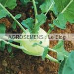 chou-rave bio - semences bio AGROSEMENS