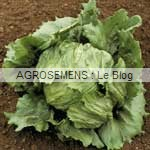 laitue bio semences AGROSEMENS