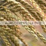 engrais verts bio - Epeautre - Agrosemens