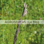 engrais verts bio - Fétuque rouge - Agrosemens