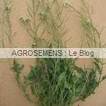 Moutarde blanche - semences bio agrosemens