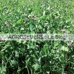 engrais verts bio - Pois d'hiver - papillonacées - agrosemens