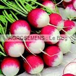 radis bio semences AGROSEMENS