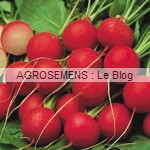 radis bio, semences bio agrosemens