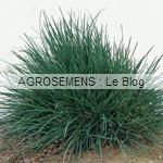 ray grass anglais- semence engrais vert - agrosemens
