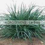 Ray Grass Italien - semence engrais vert - agrosemens