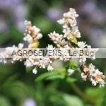 Sarrazin - engrais vert- semence agrosemens