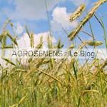 engrais verts bio - Seigle pérenne - Agrosemens