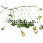 Trèfle blanc - engrais verts bio - agrosemens