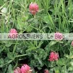 trèfle violet - papillonacées - agrosemens