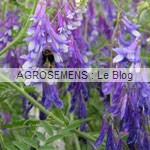 winterwicke_vesce-d-hiver - engrais verts bio - agrosemens