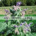 bourrache - semences bio AGROSEMENS